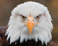 Google Image Result for http://images.fineartamerica.com/images-medium/eagle-eye-katie-abrams.jpg