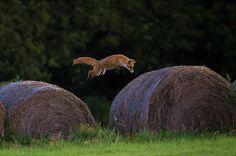 flying foxy