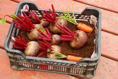 Ako uskladniť zeleninu v teplej pivnici? Potato Salad, Potatoes, Vegetables, Ethnic Recipes, Food, Gardens, Potato, Essen, Outdoor Gardens