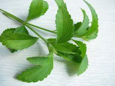 Stévie je byznys aneb Co čekat od nového populárního sladidla, které je v Kofole i dalších Stevia, Korn, Plant Leaves, Herbs, Plants, Diet, Herb, Plant, Banting