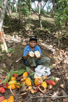 Cacao harvest, Bali, Indonesia