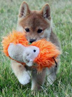 puppies shiba inu | Hinoki the Shiba Inu | Puppies | Daily Puppy