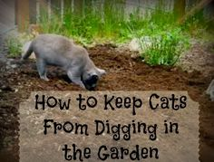 Greneaux Gardens: Easy way to keep cats from digging up your plants