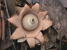 A mature Geastrum saccatum, also known as the rounded earthstar, in Mount Field National Park, Tasmania, Australia.