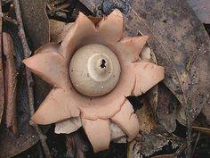 Earth Star fungi