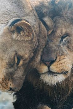 african lion - our love is here to stay (harimau kayu) Nature Animals, Animals And Pets, Baby Animals, Cute Animals, Beautiful Creatures, Animals Beautiful, Beautiful Lion, Lion Couple, Lion Photography