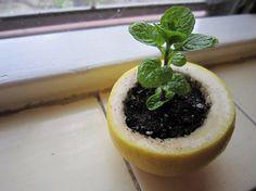 plantar sementes nas cascas de frutas cítricas é uma ótima forma de garantir a nutrição das mudas com a própria compostagem da fruta. Lembre-se de fazer um furo no fundo para drenagem
