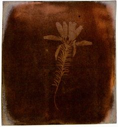 Fox Talbot, Erica Mutabilis, 1839, photogenic drawing, a present for Sir John Herschel