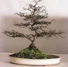... corokia cotoneaster on Pinterest | Cotoneaster bonsai, Bonsai and 10