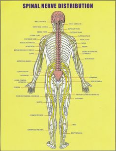 All about the spinal cord:  Spinal nerve distribution chart  Vertebral subluxation and spinal nerves
