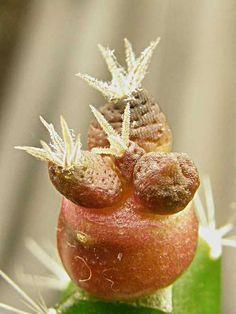 Ariocarpus fissuratus f. lloydii X Ariocarpus scaphirostris