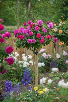 Standard Roses  #DavidAustinRoses #GardenRoses