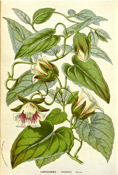 Codonopsis vine Flore des serres et des jardins de l'Europe vol. 12: (1857)