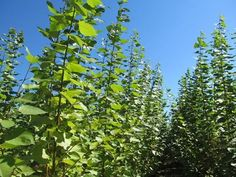 How do hybrid poplar trees interact with air pollution? From our project colleagues Advanced Hardwood Biofuels