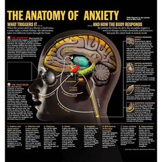 Courtesy of @time #anatomy #anxiety #responses #reflexes the #brain #infographic #thehighroad #stimuli #id #organs #heart #hormones #cells #locus #cortex #todo