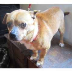 Hank is an adoptable Pug, Chihuahua Dog in Kalamazoo, MI Hank is an adorable, gentle and sweet little dog. He was transferred from Animal Services when  ... ...Read more about me on @petfinder.com