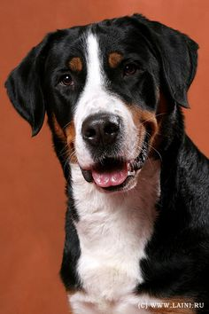 "Greater Swiss Mountain. //""Carstel Dogs"" great site for rarer breeds.  Well done. r"