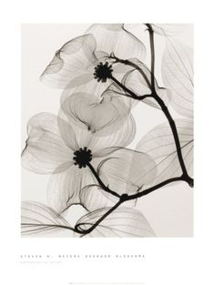 dogwood branches black and white wall art