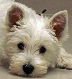 West Highland White Terrier - oh I love westies Westies, Westie Puppies, Cute Puppies, Dogs And Puppies, Doggies, Chihuahua Dogs, Animals Beautiful, Cute Animals, West Highland White Terrier
