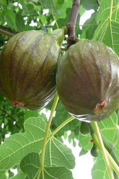 HIGHLIGHTS: Hardy to Zone 6! Proven hardy in Pacific North West Very reliable Very sweet, purple fruit *Please note: We are unable to ship live plants to: CA, HI, AK, AZ Won the Retailers' Choice Award at the 2014 FarWest Show! 'Olympian' is a ultra cold hardy fig & absolutely delicious. This fig produces very swee