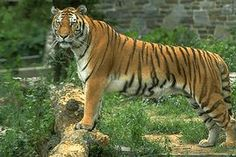 if we dont do something...there will be no more wild tigers in 12 years