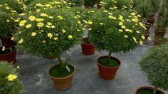 daisy tree - Google'da Ara