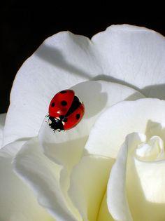 Ladybug on White Rose