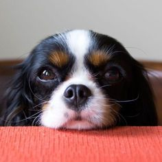 We know how cute and convincing they can be, but there are a number of reasons why giving your pup table scraps is dangerous. #woofipedia #woof #CavalierKingCharlesSpanielPuppy