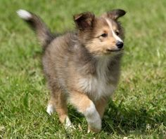 Shetland Sheepdog Puppy --- Oh I miss Trixie so much.one day I'll have another Sheltie, hopefully a puppy! Crown Photo, Cute Puppies, Cute Dogs, Tiny Puppies, Sheepdog Tattoo, Smartest Dog Breeds, Dog Dna Test, Shetland Sheepdog Puppies, Dog Mixes