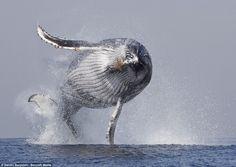 Hello there: A humpback whale threw itself out of the water off the eastern coast of South...