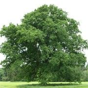 Quercus robur (Common oak) Click image to learn more, add to your lists and get care advice reminders each month.