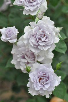Floribunda Rose: Rosa 'Misty Purple' <ミスティパープル> (Japan, 2003)