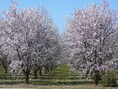 Amandiers en fleurs sur le plateau de Valensole. almond flowers