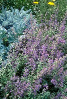 Nepeta catmint in bloom, blue kale vegetable, blue spruce picea evergreen, yellow Achillea yarrow, plant combination