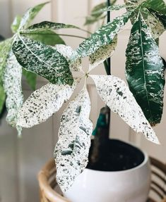Hope everyone is having a great weekend! 😃 One of my favorite babies - the variegated money tree 🌱💚 Indoor Garden, Indoor Plants, Trees To Plant, Plant Leaves, Pachira Aquatica, Plants Are Friends, Variegated Plants, Money Trees, Rare Plants