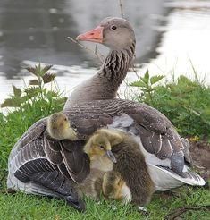 Pato Animal, Mundo Animal, Pretty Birds, Beautiful Birds, Animals Beautiful, Beautiful Babies, Cute Baby Animals, Animals And Pets, Funny Animals