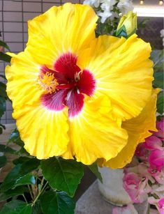 Hibiscus plant, Plant growth, Perennial plants, Plant diseases, Hibiscus flowers, Types of flowers - The best time to prune hibiscus depends upon the climate and plant variety In general, late winter - #Hibiscusplant Orchid Plant Care, Hibiscus Plant, Orchid Plants, Hibiscus Flowers, Exotic Flowers, Cactus Flower, Purple Flowers, Orchids, Plant Diseases