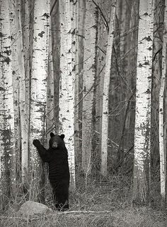 "Dan Newcomb ""Tree Hugger"" (Cute black bear hugging a tree near Fort Nelson, BC. Wild Life, Beautiful Creatures, Animals Beautiful, Cute Animals, Beautiful Things, Love Bear, Mundo Animal, Black Bear, Belle Photo"