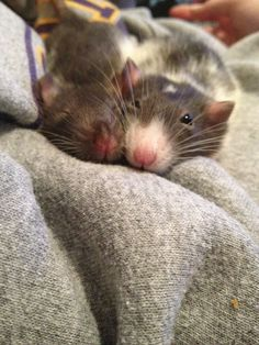 Rat - lovely photo
