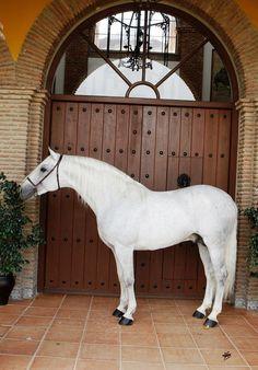 NAZARENO XXXII - Spanish Stallions