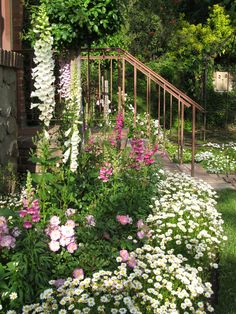 "Shasta Daisy ""border"" for flower bed of Foxglove, snapdragon and roses…"