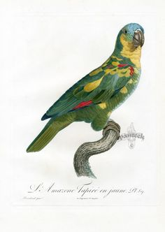 L'Amazone Tapire en jaune by Jacques Barraband from Histoire Naturelle des Perroquets (1801-1805)