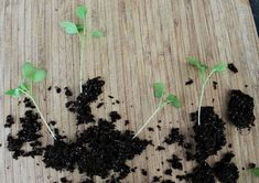 Growing healthy seedlings takes some practice! To avoid getting root bound, repotting seedlings is needed for space to grow. Tips for your seedlings Garden Seeds, Garden Plants, Organic Gardening, Gardening Tips, When To Transplant Seedlings, Vegetable Garden Tips, Plant Diseases, Soil Improvement, Natural Garden