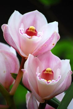 Cymbidium by monetmama, via Flickr