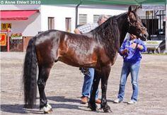 Coldblood Trotter - stallion Röste Bo
