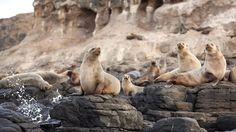 Seal Rock, Phillip Island, Victoria, Australia - nature and wildlife on the Island Best Places To Travel, Places To Visit, Phillips Island, Australian Animals, Victoria Australia, Papua New Guinea, Exotic, Wildlife, Seals