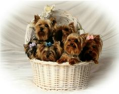 basket Yorkies