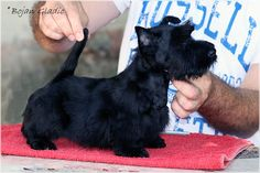 INVISIBLE TOUCH KENNEL Invisible Touch Black Onyx 8 weeks Photo by Bojan Gladic