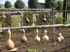Drying gourds (i gotta find a way to dry them outside so i dont get mold every where, in Australia mold grows well!!!)