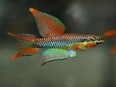 Two-banded Killifish - Chromaphyosemion bitaeniatum